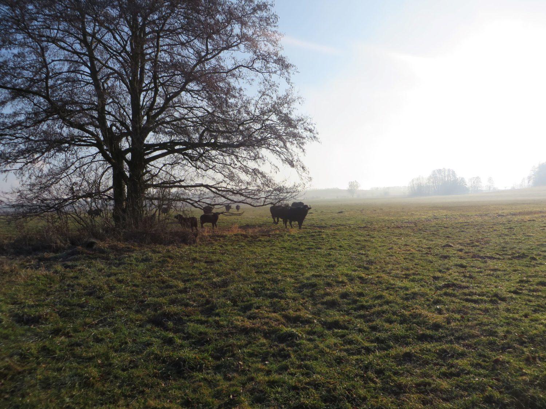 Wasserbüffel auf Grünland in der Uckermark, © S. Hügle